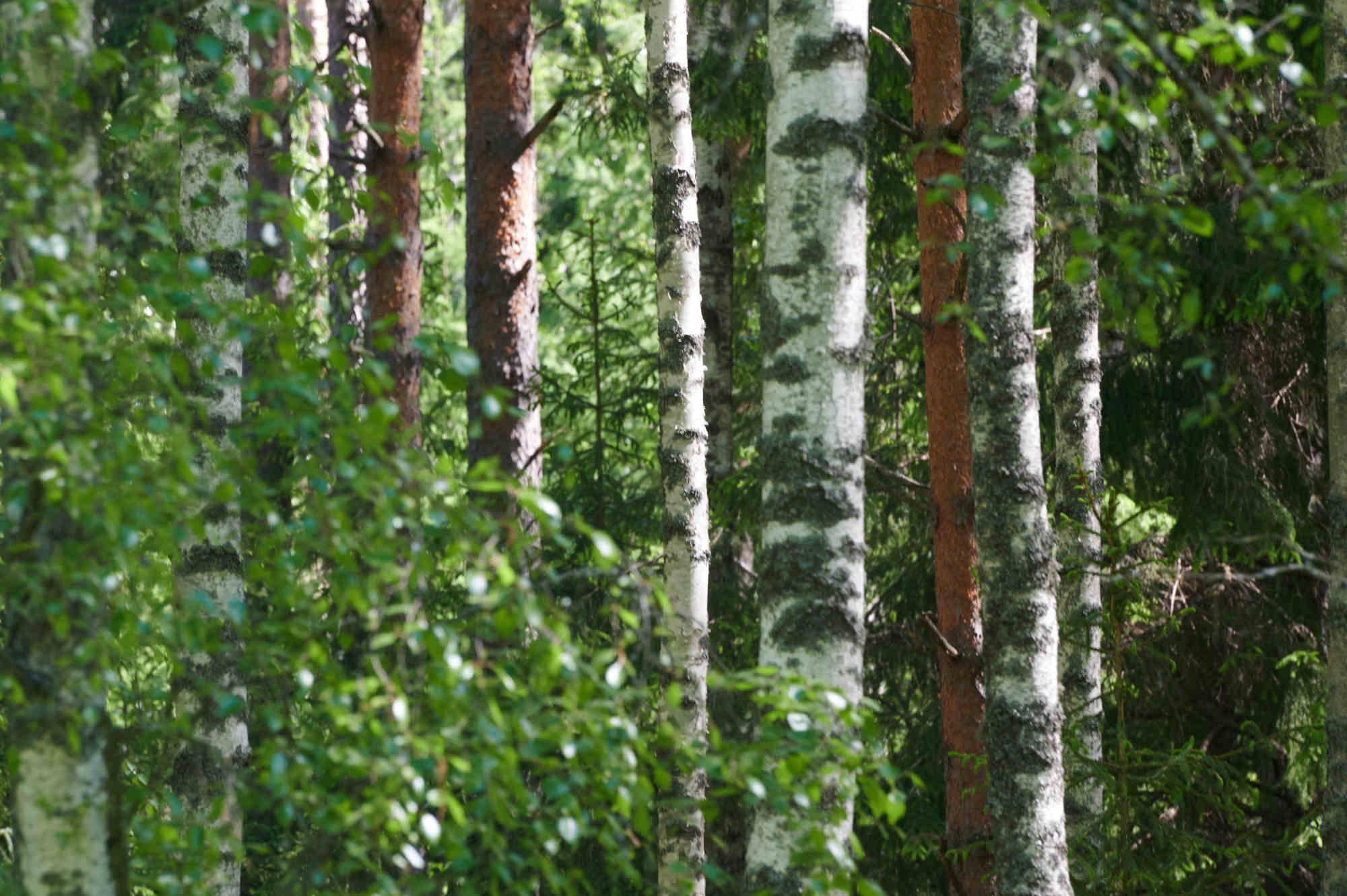 foresta finlandia